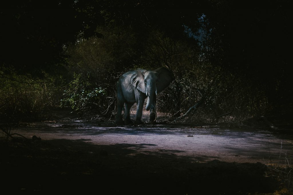 Elephant standing in the bush at night in Lower Zambezi National Park