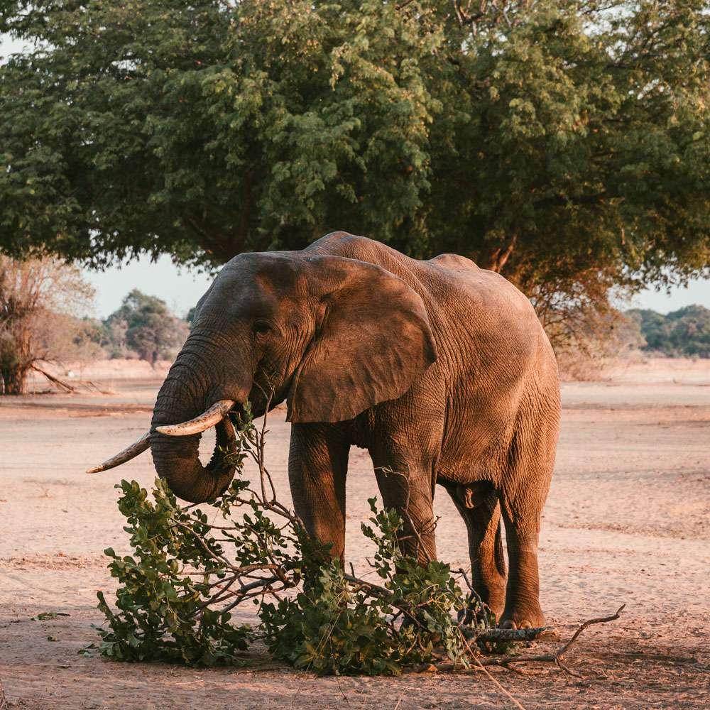 Elefant beim Abendessen